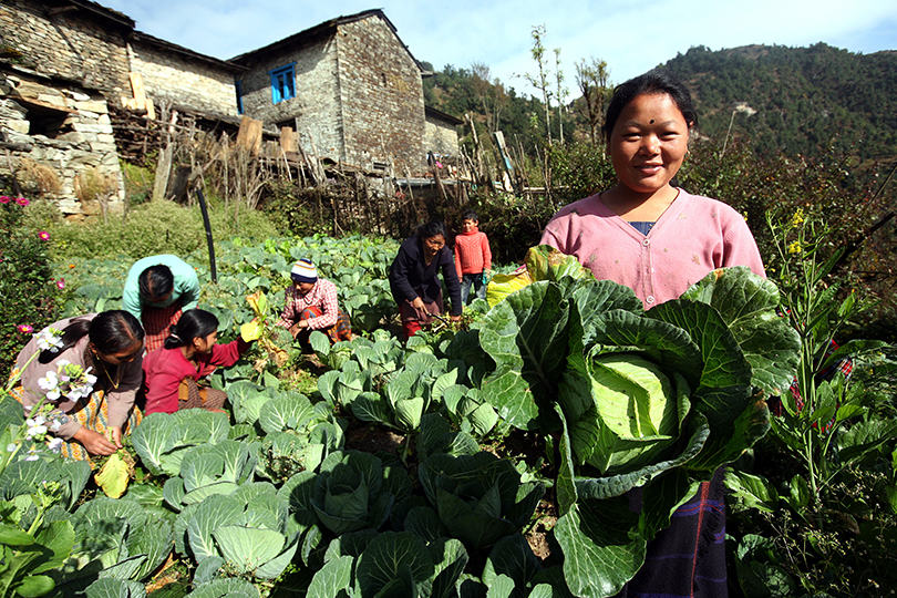 A photo of women in Nepal harvesting cabbages.