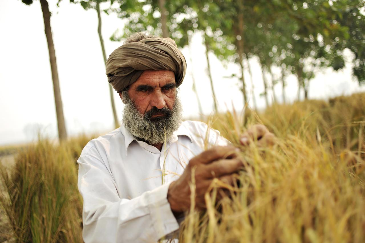 A man examines rice in a field.