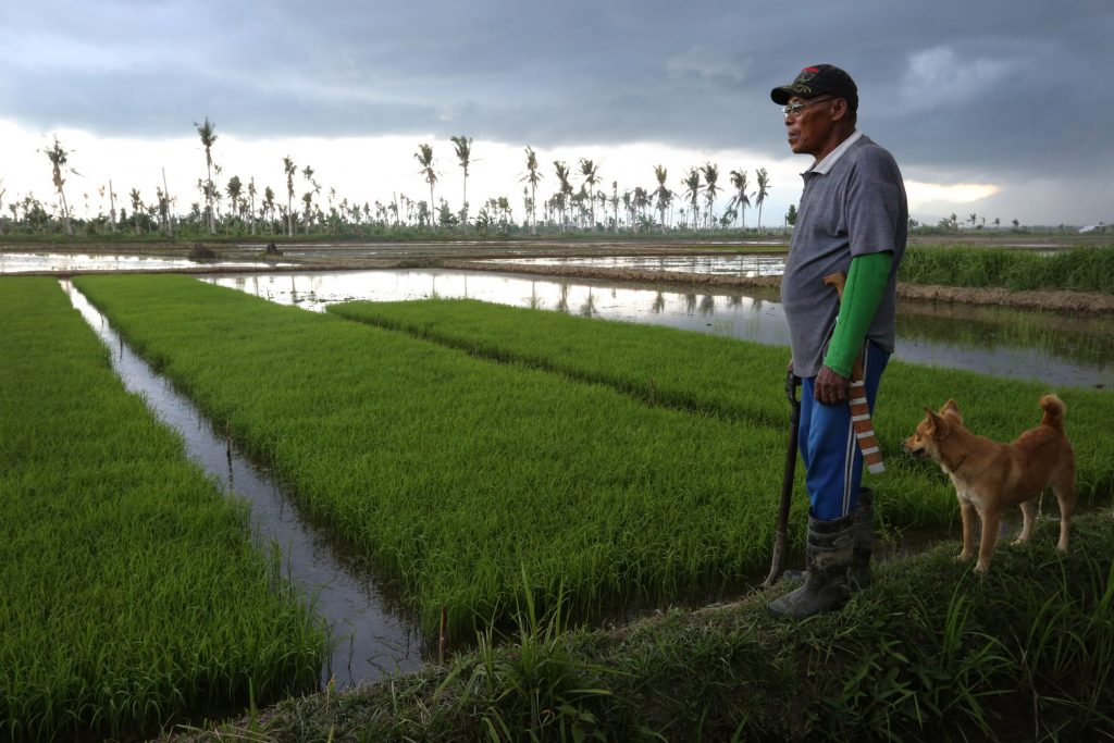 A man and his dog overlook a rice field.