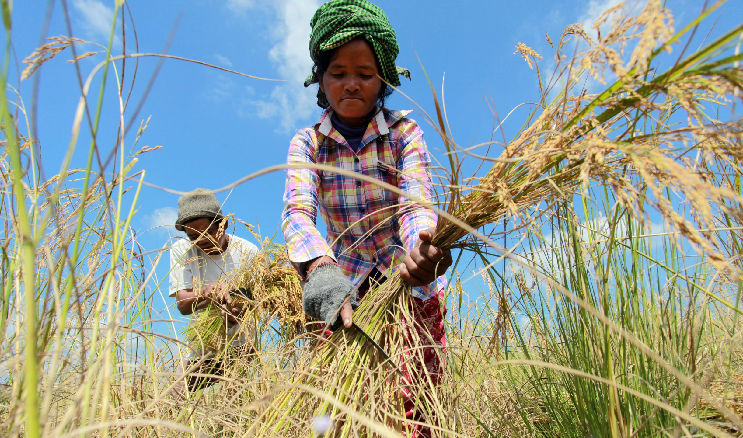 A woman and her husband harvest rice in a field.